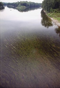 A healthy bed of submerged aquatic vegetation