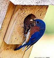 An image of a bluebird at the opening of a birdhouse.
