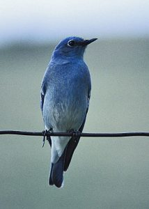 A bluebird sitting on a wire.
