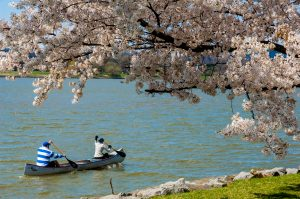 Two people rowing a canoe in the Potomac River. A tree full of cherry blossoms is along the shore.