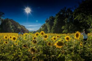 Sunflowers blooming under a clear sky